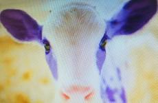 vache-milka